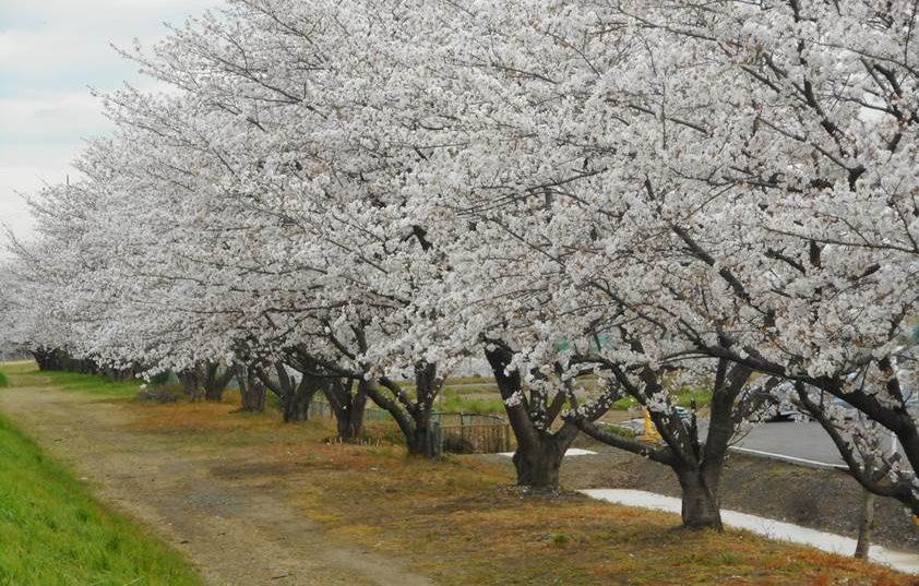 あさか大師わきの桜並木